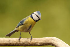 Blue tit. On branch front the beautiful background Stock Photos