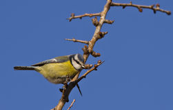 Blue Tit. Is perching on a tree branch Royalty Free Stock Image