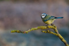 Blue tit. On the stick with nice background Stock Photography