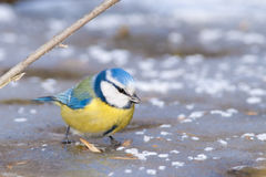 Blue Tit Royalty Free Stock Image