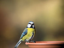 blue tit Stock Photos