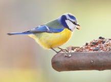 The Blue Tit. The Blue Tit (Cyanistes caeruleus) on a bird table Royalty Free Stock Photos