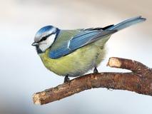 Blue tit Stock Image
