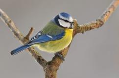 Free Blue Tit Stock Image - 39744711