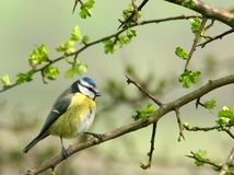 Free Blue Tit Royalty Free Stock Photography - 457697