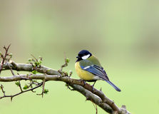 Free Blue Tit Royalty Free Stock Photos - 457698