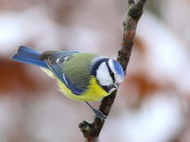Blue tit 5. Stock Photography