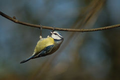 Blue tit. Hanging on a branch Royalty Free Stock Photography