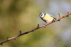 Blue tit. Beautifully detailed blue tit on a branch Royalty Free Stock Images