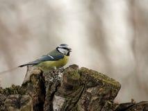 Blue Tit. (Parus caeruleus) on a tree stump Royalty Free Stock Photos