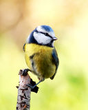 Blue tit. On a branch, looking around and preparing to take off stock images