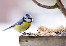 Blue tit. In bird table Royalty Free Stock Image