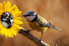 Blue tit. Looking for seeds on sunflower Royalty Free Stock Images