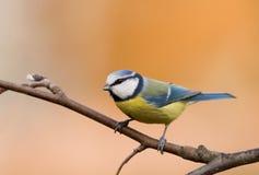 Blue Tit (aka Parus Caeruleus) On Orange Backgroun Royalty Free Stock Images