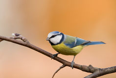 Blue tit (aka parus caeruleus) on orange backgroun Royalty Free Stock Images