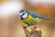 Blue tit (aka parus caeruleus) on orange backgroun Royalty Free Stock Photography