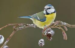 Blue tit on a alder branch Stock Photo
