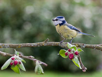 Blue Tit on apple tree in spring. Blue tit perched on an apple tree branch in springtime with red blossom buds and green leaves Royalty Free Stock Images