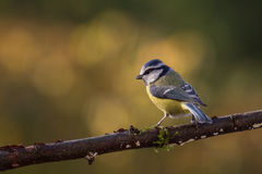 Blue Tit Autumn Stock Photography