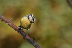 Blue tit with autumn colors. This blue tit is sitting on a brench. Beautiful autumn colors in the background Royalty Free Stock Images