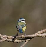 Blue Tit back view Stock Photography