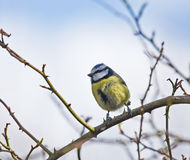 Blue Tit Banded/Ringed Royalty Free Stock Photos