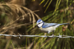 Blue Tit on Barbed Wire Stock Image