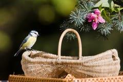 Blue tit on a basket, Vosges, France Stock Image