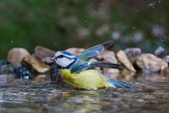 Blue tit bathing Royalty Free Stock Photography