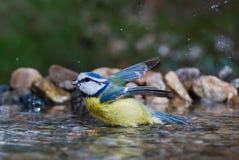 Blue tit bathing. A blue tit (Cyanistes caeruleus) bathing in a garden birdbath Royalty Free Stock Photography