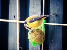 Blue tit. Bird eating on a food ball in the winter Royalty Free Stock Images