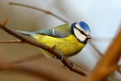 Blue tit bird   Royalty Free Stock Image
