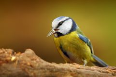 Blue tit bird   Stock Image