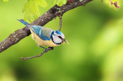 A blue tit bird with a caterpillar Royalty Free Stock Images