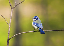 Blue tit bird with colorful feathers sitting spring forest Royalty Free Stock Photography