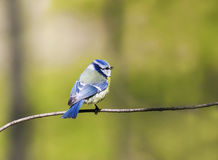 Blue tit bird with colorful feathers sitting spring forest Stock Photography