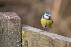Blue tit bird Cyanistes caeruleus Royalty Free Stock Photos