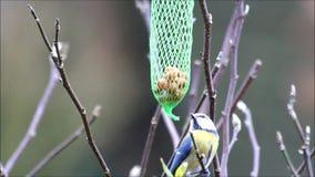 Blue tit on bird fat fodder, winter stock footage