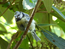 Blue Tit Bird in Feather Molting Phase - Cyanistes caeruleus Royalty Free Stock Photography