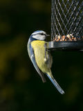 Blue tit on bird feeder Royalty Free Stock Photo