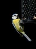 Blue tit on bird feeder Stock Image