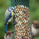 Blue tit on bird feeder Royalty Free Stock Image