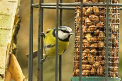 Blue Tit on Bird Feeder. Stretching to reach the nuts. Many birds depend on feeders for winter fuel Royalty Free Stock Photo