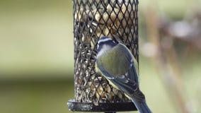 Blue tit on a bird feeder stock video footage