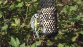 Blue tit on a bird feeder stock footage