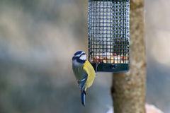 Blue Tit at a bird feeding Royalty Free Stock Photo