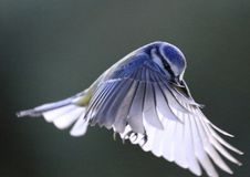 Blue tit bird in flight, flying. Blue tit song flying, in flight coming to land Royalty Free Stock Photo