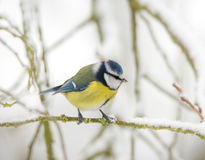 Blue tit bird sitting on a snow covered tree Stock Photos