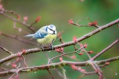Blue Tit Bird Stock Photography