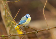 Blue Tit Bird Stock Photo